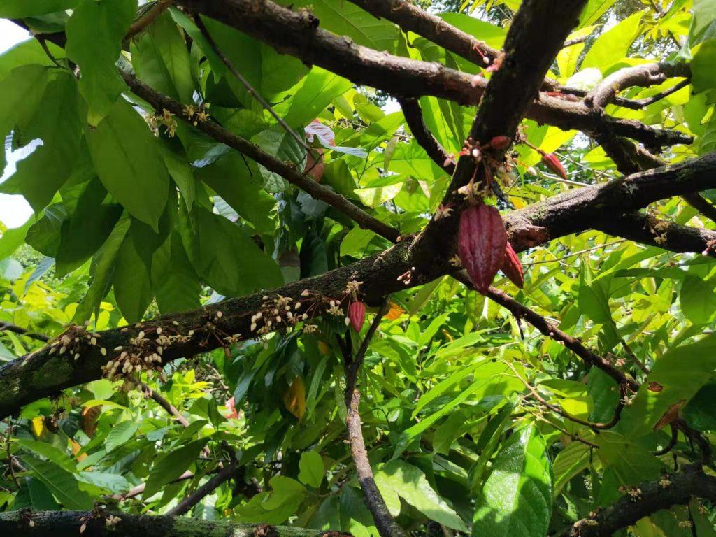 organic cacao farm