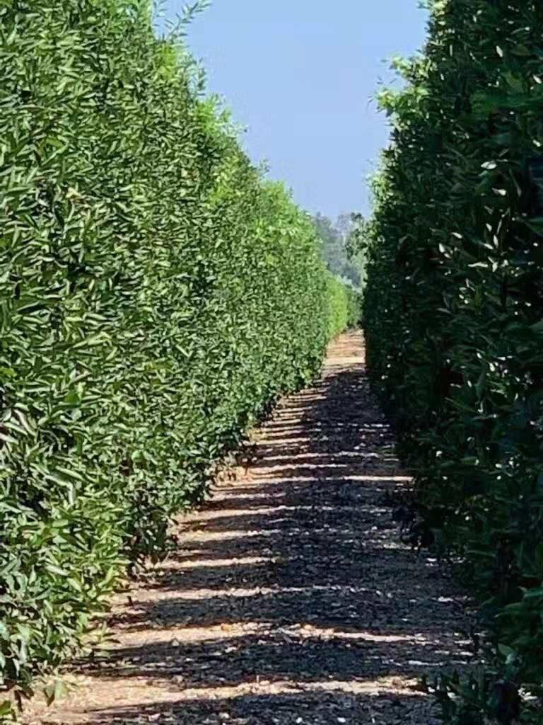 Citrus greening disease (California), cured by regenerative Agriculture (Begreen)