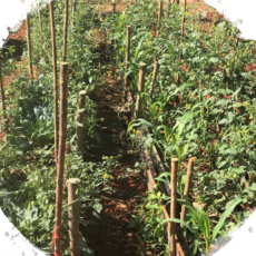 Regenerative Agriculture – Thai Cherry Tomatoes Test Report